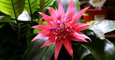 pink bromeliad flower  close  photography  stock