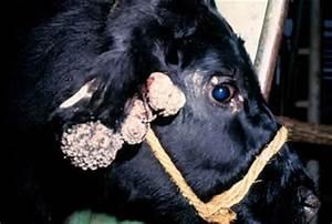 Бородавки у коров их лечение