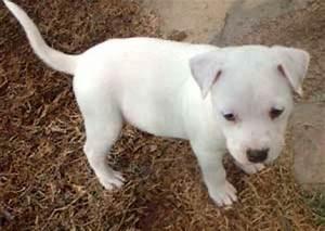 American Bulldog Pitbull Mix Puppies Photo - Happy Dog Heaven