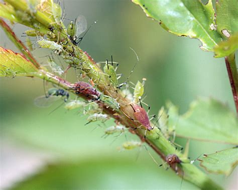 Blattläuse  Frecher Schädling Im Garten