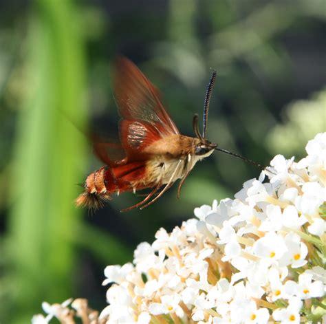 hummingbird moth gardening with tom mcnutt hummingbird moth