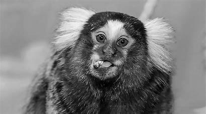 Monkey Tiny Kidnapped Hunt Found Ananova Stolen