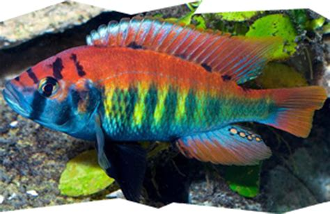 most colorful cichlids cichlids lake malawi lake tanganyika lake