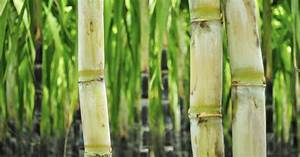 What Are The Health Benefits Of Sugarcane