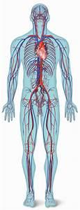 Blood Vessel Quiz Anatomy