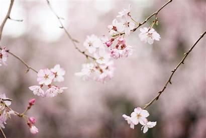 Cherry Blossom Bloom Leadership Flower 4k Background