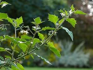 Giftpflanze Mit Stacheliger Frucht : schwarzer nachtschatten solanum nigrum bl tenpflanzen naturegate ~ Eleganceandgraceweddings.com Haus und Dekorationen