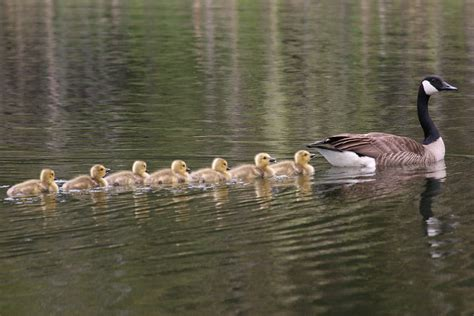 konrad lorenz godfather  animal imprinting theory