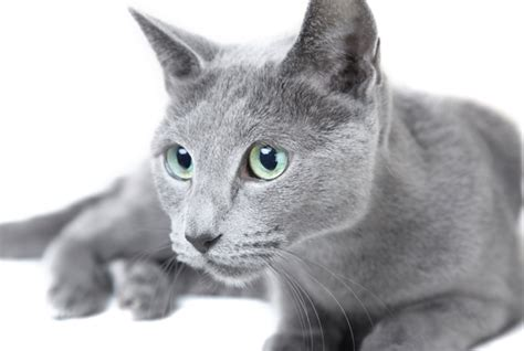 Blue Cats - 8 facts about russian blue cats mental floss