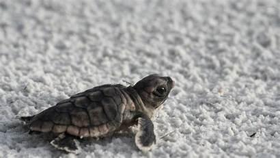 Turtle Sea Wallpapers Turtles Backgrounds Desktop Quotes