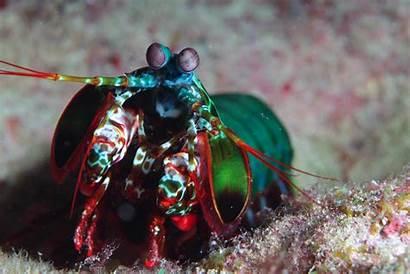 Shrimp Mantis Wallpapers Animals Desktop Backgrounds Wallup