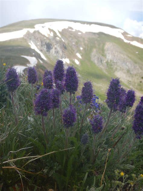 Purple Fringe Phacelia Sericea Colorado Wildflower