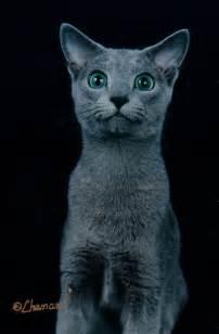 russian blue cat breeders kyina talisker cats breeders of russian blues in greater