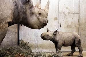 Baby black rhino born at St. Louis zoo - CSMonitor.com