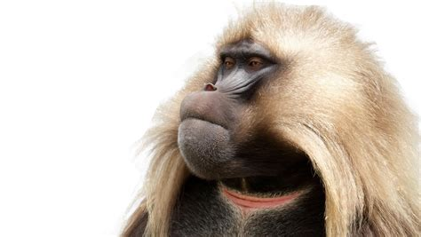 baboon png transparent images