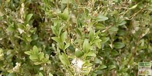 Pyrale Du Buis Traitement Bayer : chenille du buis lutte bio jardipartage ~ Dailycaller-alerts.com Idées de Décoration