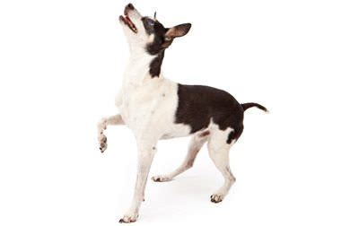 japanese terrier the dog breeds bible