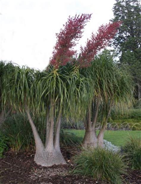 beaucarnea recurvata  pony tail palm nurseries