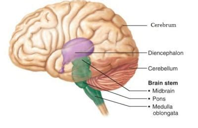3 Sections Of The Brain by Ch 14 The Brain And Cranial Nerves Anatomy Physiology