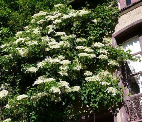 hydrangea petiolaris grimpant