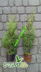 Thuja Smaragd Wachstum : thuja brabant 25 cm napf expressversand thuja smaragd ~ Michelbontemps.com Haus und Dekorationen