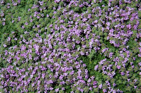 ground cover purple purple groundcover texture by moonchilde stock on deviantart