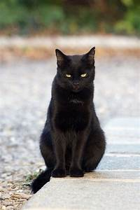 beautiful black cat sits in bright garden and looks at the