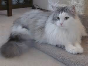 cats and kittens snowy kitten cattery siberian cats and kittens in