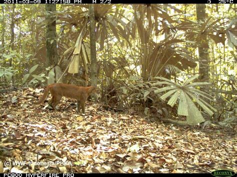 Rare Wild Cats Caught Camera Indonesian Forest