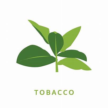 Tobacco Vector Crop Leaf Clipart Clip Plant