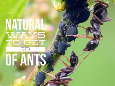 natural ways   rid  ants gardening channel