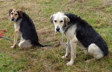 Woolshed  Farm Working  Ee  Dogs Ee   In New Zealand  Breeds