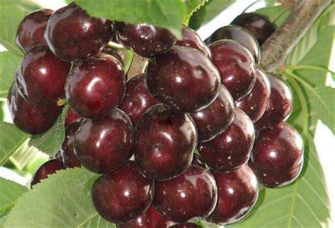 目前最好的大樱桃品种 大樱桃哪个品种好 - 鲜淘网