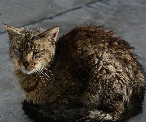 average cat lifespan 28 best average cat lifespan the average lifespan of a cat breed by breed chart petcarerx 5