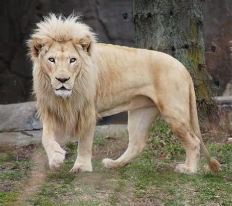 informacion sobre el leon sudafricano informacion sobre