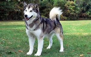 Difference between Alaskan Malamute, Siberian Husky and ...