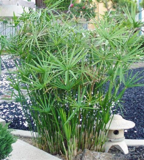 cyperus alternifolius toutes les plantes d ombre