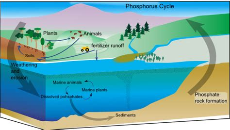 Phosphoru Cycle Diagram Pdf phosphorus runoff decrease phosphorus water management