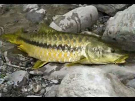 mahseer national fish  pakistan youtube