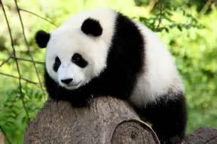 パンダ:Panda Symbolism; A message - Spirit Animal ...