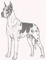 Dane Coloring Pages Greatdane Puppy Template Dogs Anime Danes Pa Harlequin 2f sketch template
