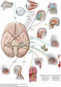 Gross Anatomy Of The Brain And Cranial Nerves Pdf  Iatt