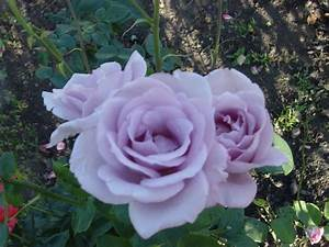 Mainzer Fastnacht Rose : edelrose 39 mainzer fastnacht 39 rosa 39 mainzer fastnacht 39 baumschule horstmann ~ Orissabook.com Haus und Dekorationen