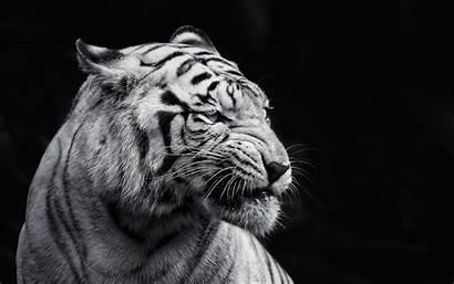 Tiger Wallpapers Minionswallpaper