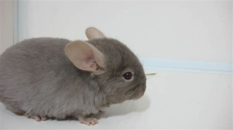 chinchilla wallpapers images  pictures backgrounds