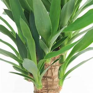 Yucca Palme Pflege : yucca palme palmlilie pflege 123zimmerpflanzen ~ Eleganceandgraceweddings.com Haus und Dekorationen