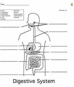 Digestive System Diagram Worksheet Unlabeled