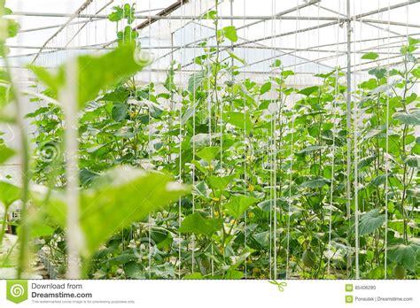 Plantation De Melon En Serre Chaude Photo Stock
