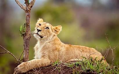 Mammals Animals Lion Wallpapers Backgrounds Desktop Mobile