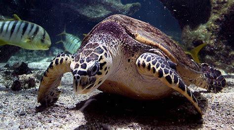 les tortues imbriqu 233 es ne se reproduisent que tous les 2 ou 3 ans en r 232 gle g 233 n 233 rale